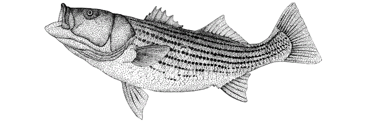 Year-End Lake Texoma Striper Reports